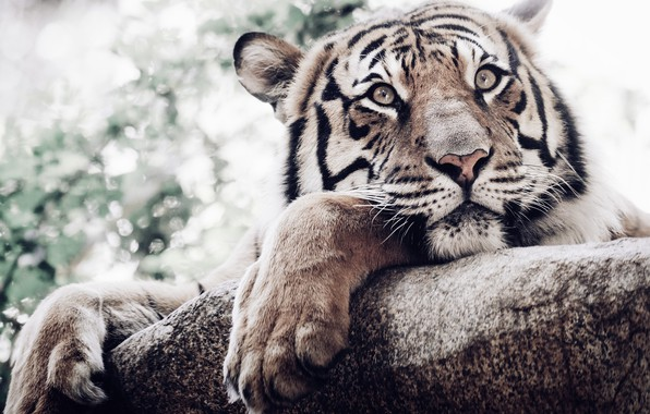 Picture look, face, tiger, paws, white tiger, wild cat