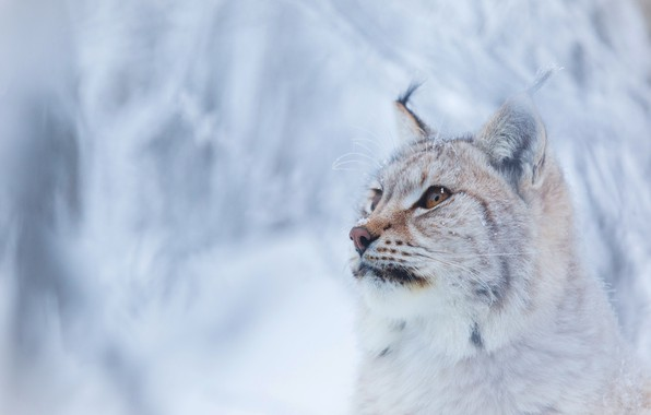 Picture winter, forest, cat, look, face, snow, branches, background, snow, portrait, lynx, wild, adorable