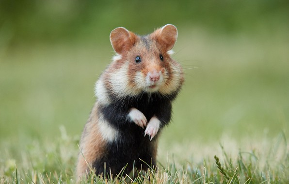 Picture grass, Hamster, stand, bokeh, rodent