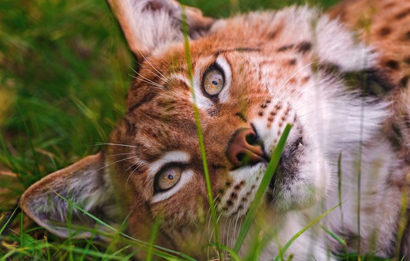 Picture greens, cat, summer, grass, eyes, look, face, close-up, stay, portrait, beauty, lies, lynx, wild cat