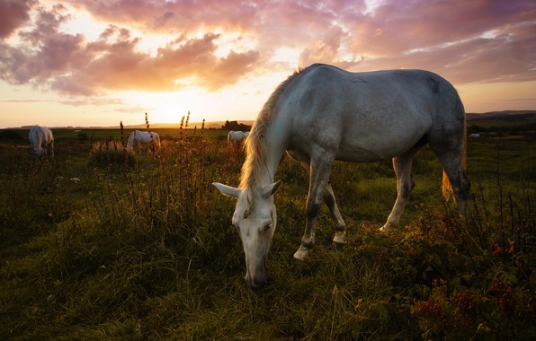 Picture field, white, summer, the sky, grass, sunset, pose, horse, horse, horses, the evening, horse, pasture, …