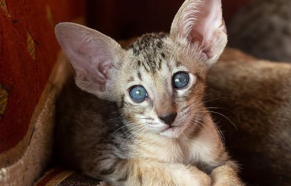 Picture cat, cat, look, muzzle, ears, blue eyes, cat, Oriental cat, Oriental, Татьяна Феденкова