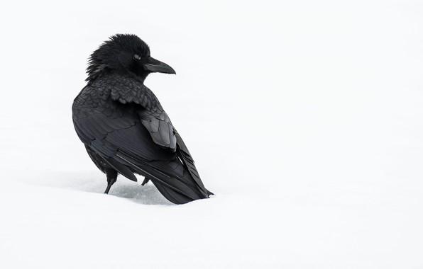 Picture winter, snow, crow