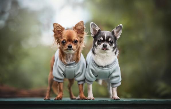Picture a couple, bokeh, Chihuahua, doggie, two dogs, Lyudmila Bogush