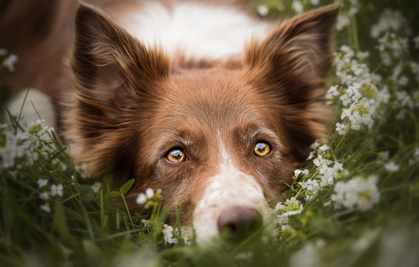Picture summer, grass, eyes, look, face, flowers, close-up, nature, portrait, dog, yellow, meadow, lies, red, ears, …