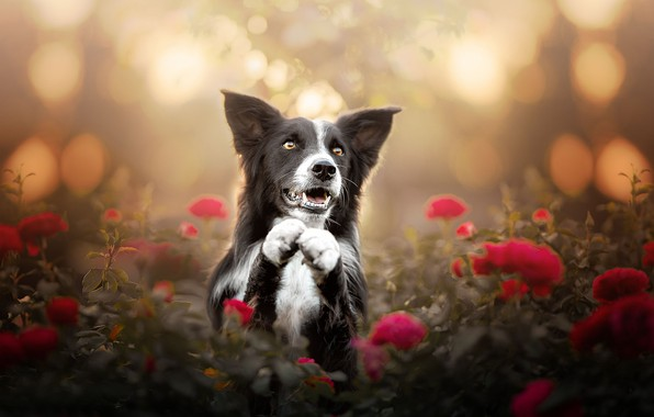 Picture face, flowers, roses, dog, paws, bokeh, The border collie