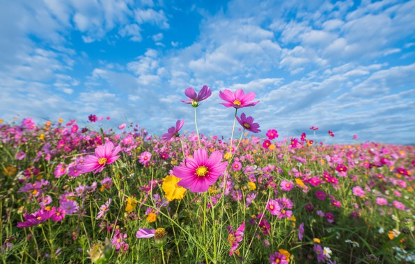Picture field, summer, the sky, flowers, colorful, meadow, summer, pink, field, pink, flowers, cosmos, meadow