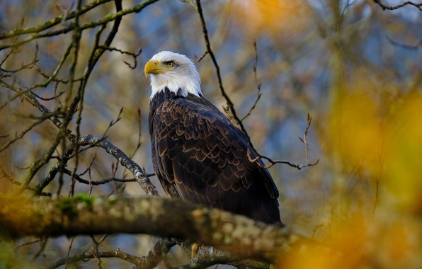 Picture branches, bird, Bald eagle