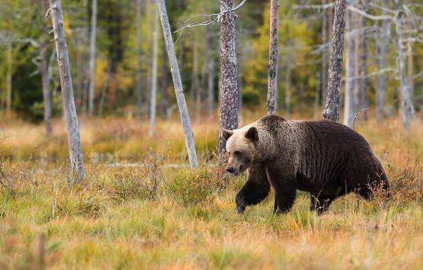 Picture autumn, forest, grass, trees, nature, pose, trunks, bear, bear, walk, brown