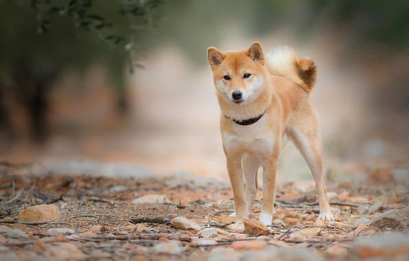 Photo wallpaper look, leaves, nature, stones, dog, branch, red, collar, young, doggie, Shiba inu