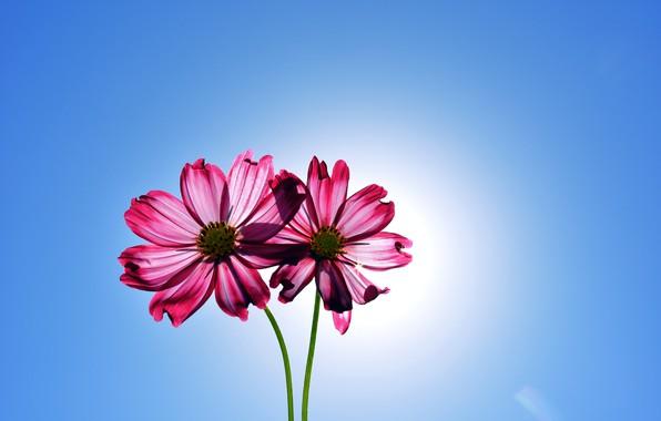 Picture flowers, flowers, kosmeya