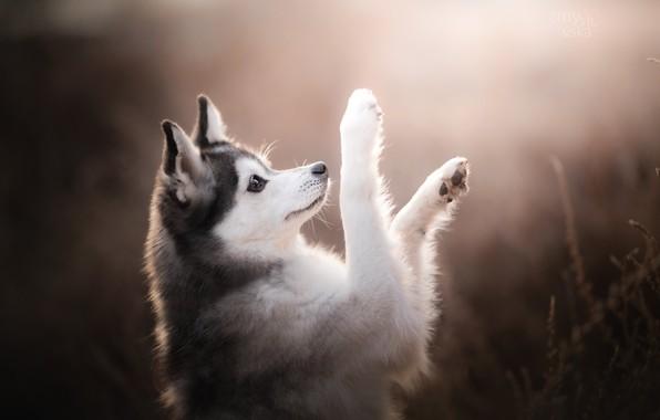 Picture dog, paws, bokeh, Alaskan Klee Kai