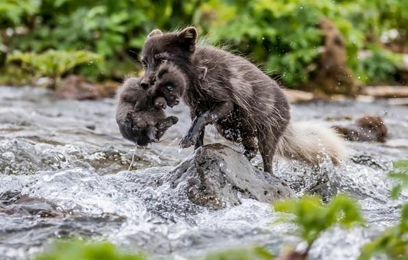 Picture river, cub, Fox, Arctic Fox