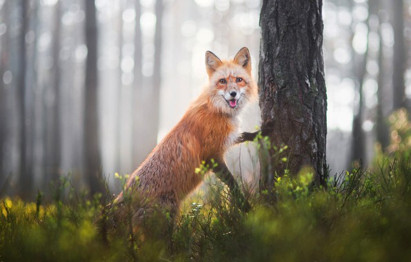 Picture forest, language, grass, look, face, light, nature, pose, glare, background, tree, spring, paws, Fox, trunk, …