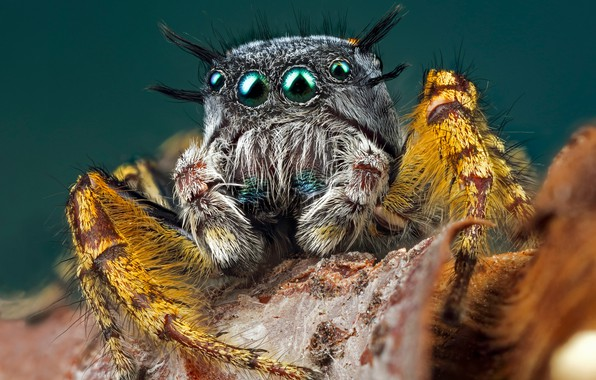 Picture eyes, look, macro, yellow, pose, grey, background, leaf, legs, spider, hairy, turquoise, jumper, jumper, spider, …
