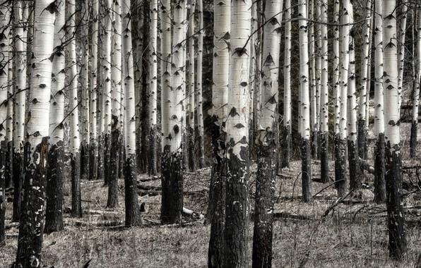 Picture nature, birch, grove