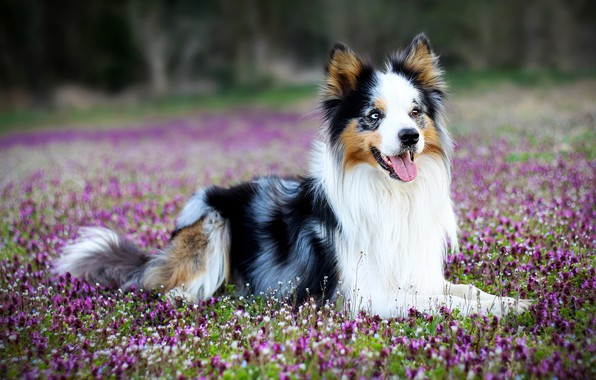 Picture forest, language, face, flowers, glade, dog, puppy, lies, the border collie