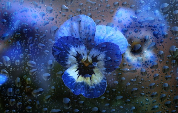 Picture glass, water, drops, macro, flowers, blue, Pansy, water drops, violet, viola