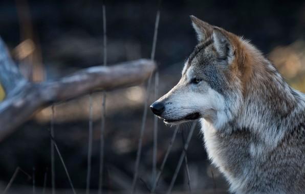 Picture face, wolf, portrait, profile