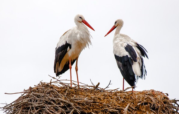 Picture birds, socket, storks