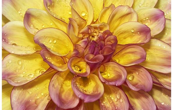 Picture flower, petals, Dahlia