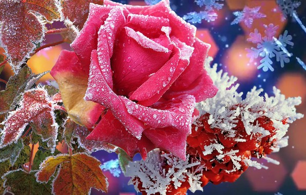 Picture nature, Winter, beauty, Rose, super. flowers