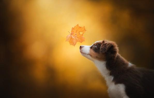 Picture autumn, background, dog, puppy, profile, face, maple leaf, bokeh, Miniature Australian shepherd, Mini Aussie