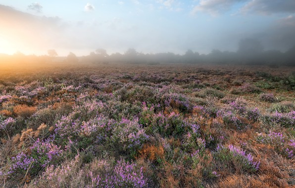 Picture field, flowers, fog, morning