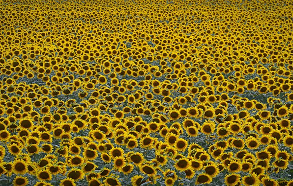 Picture field, sunflowers, agriculture