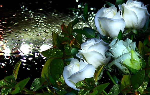 Picture drops, Rosa, rain, Roses, white
