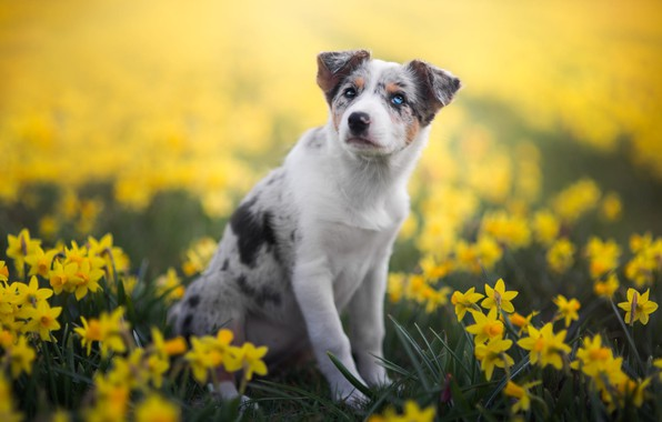 Picture white, look, flowers, nature, pose, background, glade, dog, spring, paws, yellow, garden, puppy, sitting, flowerbed, …