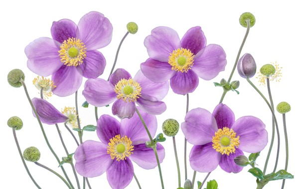 Picture petals, Anemone, white background, buds, Anemone