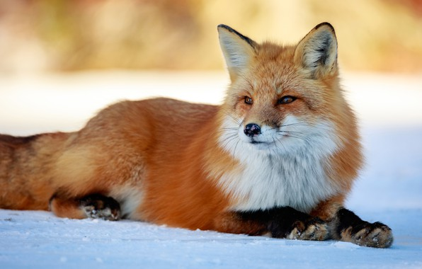 Picture winter, look, face, snow, nature, background, paws, Fox, beauty, lies, red, Fox