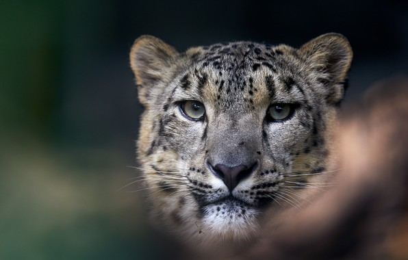 Picture eyes, look, face, close-up, background, portrait, IRBIS, snow leopard, bars