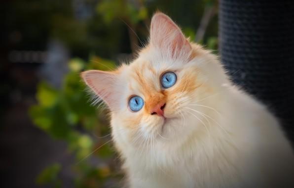 Picture cat, look, portrait, muzzle, blue eyes, cat