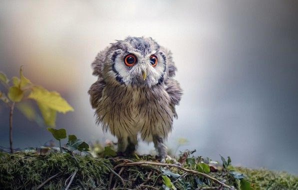 Picture eyes, owl, bird, beak, owlet