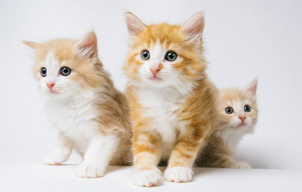 Picture background, kittens, red, Trinity, Norwegian forest cat