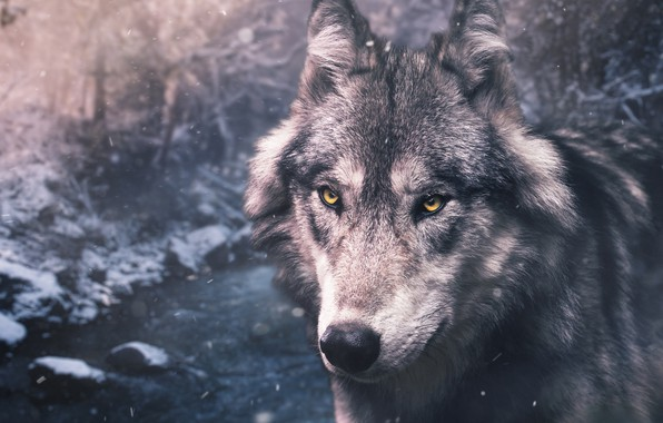 Picture winter, forest, eyes, look, face, snow, nature, grey, wolf, portrait, handsome