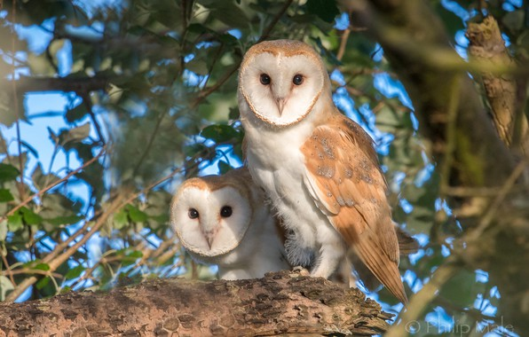 Picture birds, tree, owls, a couple, The barn owl