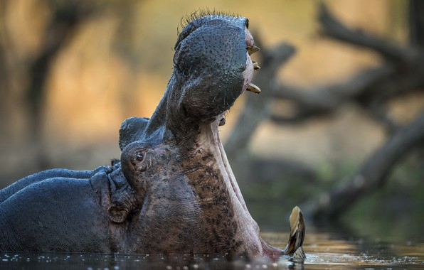 Picture nature, mouth, Hippo