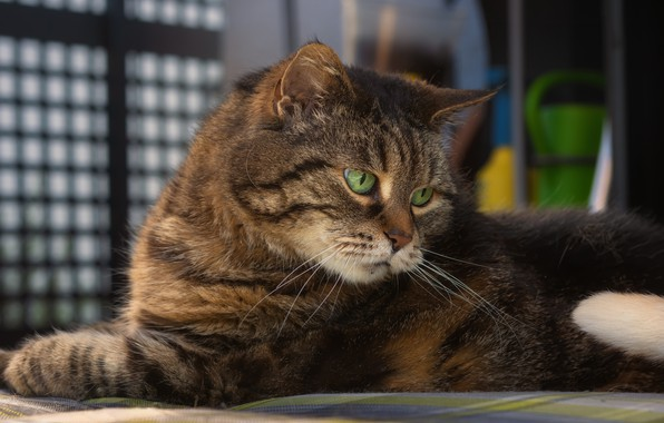 Picture cat, muzzle, Kote