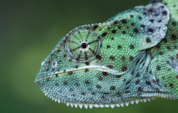 Picture look, face, close-up, green, chameleon, background, portrait, profile, reptile, polka dot