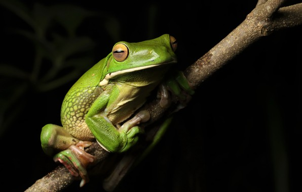 Picture nature, frog, White-lipped Tree frog
