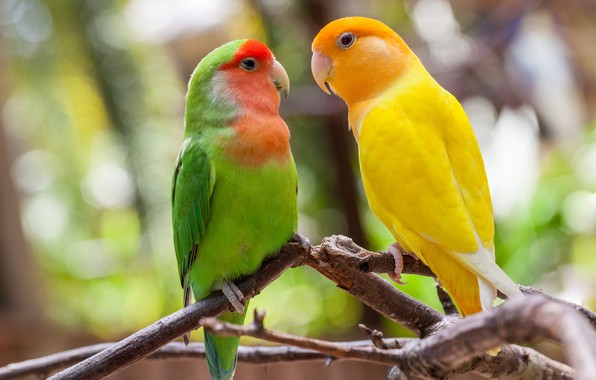 Picture birds, branches, parrots, a couple, lovebird