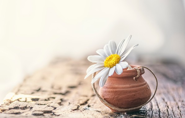 Picture flower, background, Daisy
