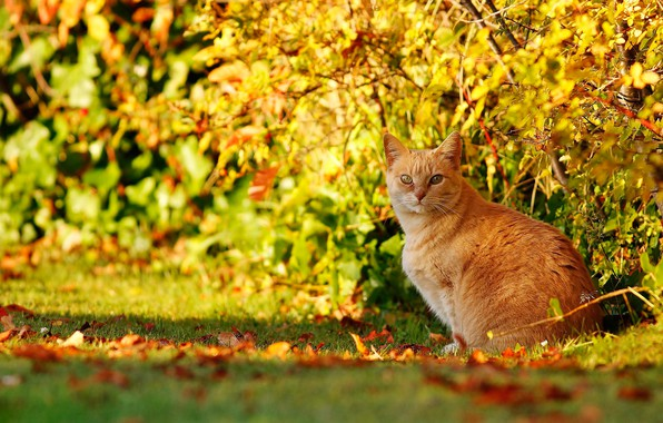 Picture autumn, cat, cat, look, red, the bushes, bokeh, cat