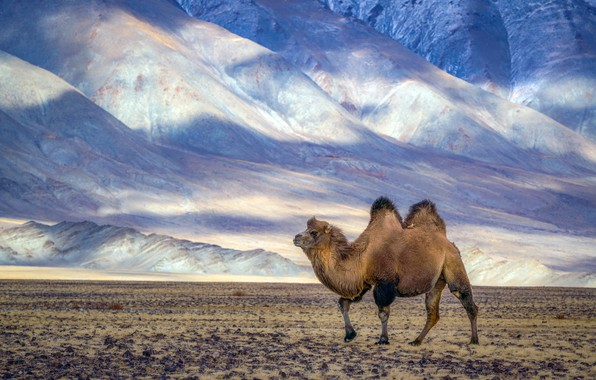 Picture nature, desert, camel