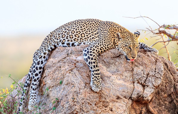 Picture language, face, nature, pose, stone, predator, paws, leopard, lies, resting, the bushes, bokeh, spotted, lying