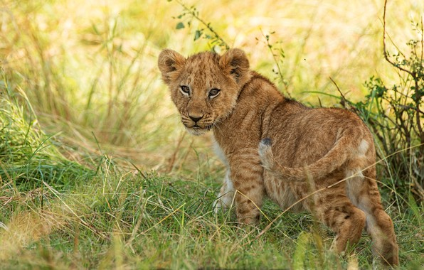 Picture grass, look, nature, pose, baby, wild cat, lion, lion