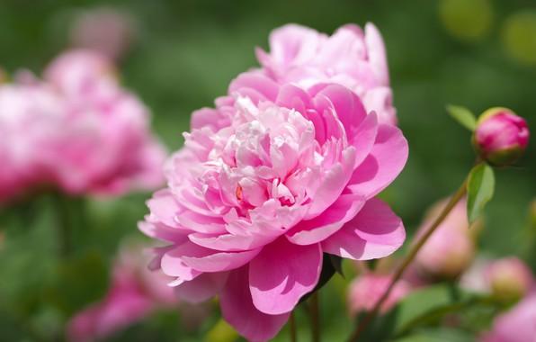 Picture macro, pink, bokeh, peonies